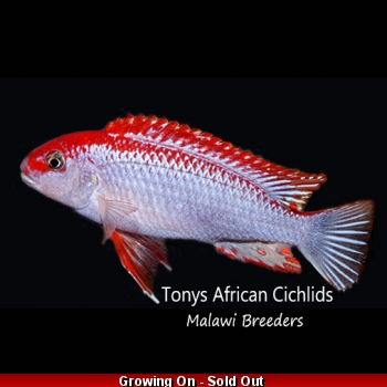 4 x Pseudotropheus Ndumbi Super Red Top T.A.C 3-4cm, starting to colour